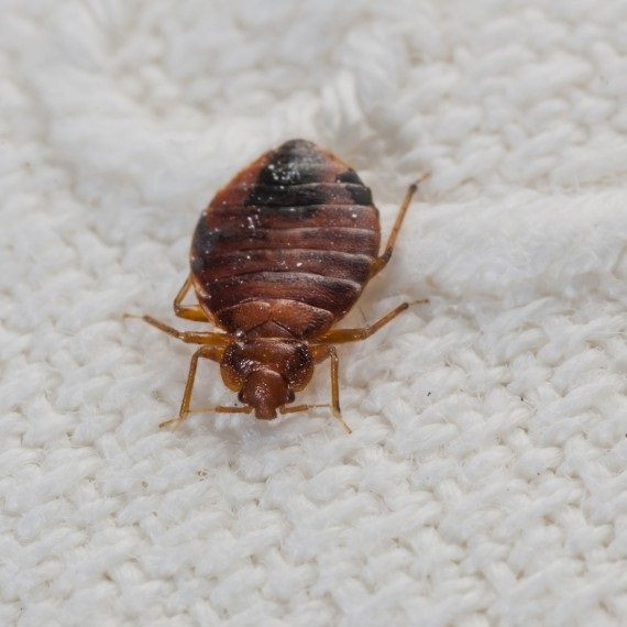 Bed Bugs, Pest Control in Seven Kings, Goodmayes, IG3. Call Now! 020 8166 9746