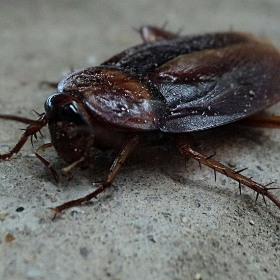 Cockroaches, Pest Control in Seven Kings, Goodmayes, IG3. Call Now! 020 8166 9746