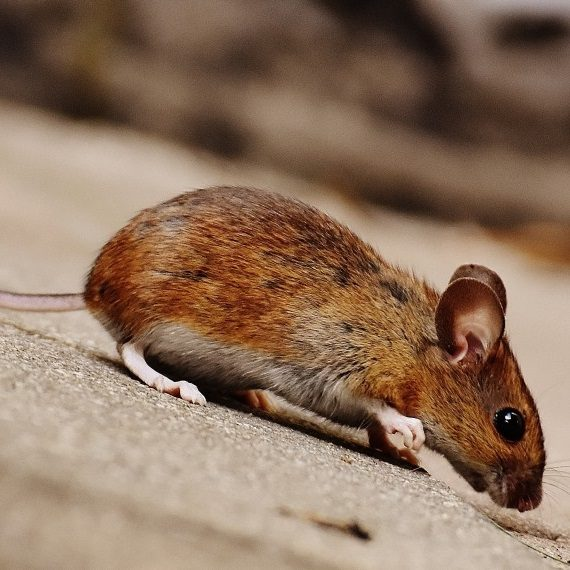 Mice, Pest Control in Seven Kings, Goodmayes, IG3. Call Now! 020 8166 9746