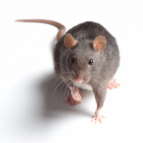 Rats, Pest Control in Seven Kings, Goodmayes, IG3. Call Now! 020 8166 9746