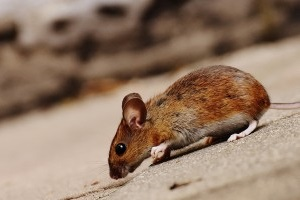 Mice Exterminator, Pest Control in Seven Kings, Goodmayes, IG3. Call Now 020 8166 9746